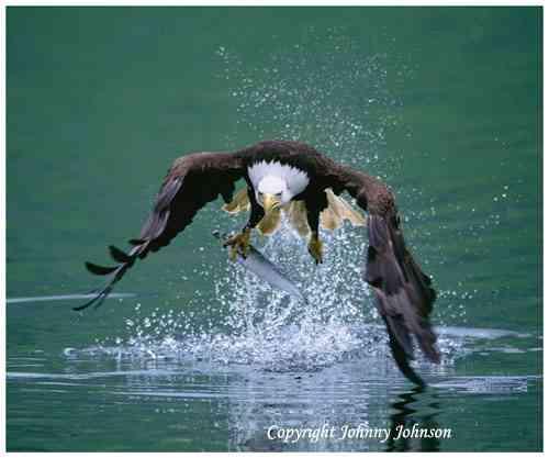 Birds of alaska johnny johnson photography for Johnny johnson fishing